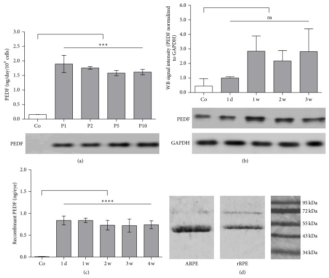 PEDF secretion by immortalized RPE cells in vitro and in vivo . (a) ELISA-based quantification and Western blot analysis of total PEDF secretion by immortalized rat RPE cells in vitro at passages 1, 2, 5, and 10 (grey bars) after SB100X -mediated transfection with the pT2-CMV-PEDF/EGFP transposon plasmid. Note that nontransfected control cells secreted only very small amounts of endogenous PEDF (white bar). Data represent the mean ± SD from 2 independent measurements ( ∗∗∗ p = 0.0001). (b) Western blot analysis of total PEDF extracted from rat control eyes and eyes at 1 day, 1, 2, and 3 weeks after subretinal transplantation of PEDF-transfected rat RPE cells. Double bands indicated the slightly different molecular weights of endogenous (46.5 kDa) and recombinant human PEDF (47.5 kDa), which included a His-tag. Loading of equal protein amounts was confirmed by similar densities of GAPDH protein bands (36 kDa). Note that for these experiments the number of cells transplanted was 1 × 10 5 , since the low sensitivity of the anti-PEDF antibodies required a larger amount of protein. Data represent the mean ± SD from 2 independent measurements. (c) ELISA-based quantification of recombinant PEDF secretion in vivo in lysates of rat eyes at 1 day, 1, 2, 3, and 4 weeks after subretinal transplantation of 1 × 10 4 PEDF-transfected RPE cells, showed a constant level of recombinant human PEDF. For nontransfected control cells recombinant PEDF was not detectable (left bar), because the analysis was carried out with Ni-NTA HisSorb plates. Each bar represents the average data of three injected eyes ( ∗∗∗∗ p