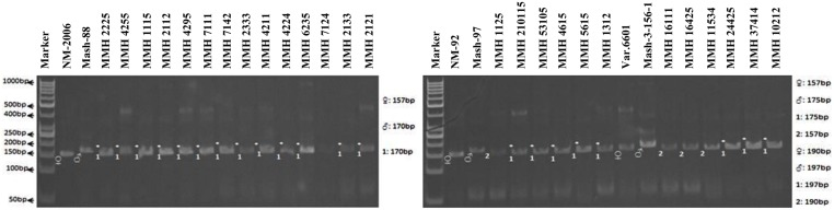 PCR profiles of parental genotypes along with interspecific recombinants using SSR marker VR040. ∗ Marker for recombination .