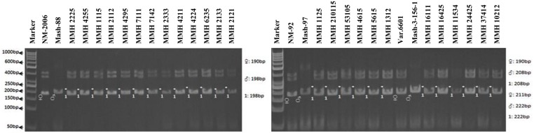 PCR profiles of parental genotypes along with interspecific recombinants using SSR marker VR0111. ∗ Marker for recombination .