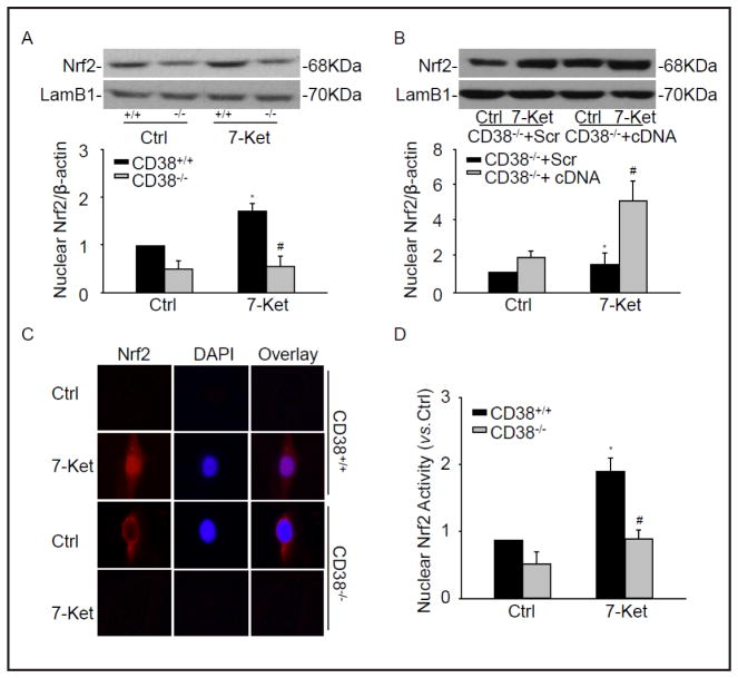 CD38 deficiency inhibited the activation of Nrf2. Representative Western blot gel documents and summarized data showing the protein expression of nuclear Nrf2 in CD38 −/− and CD38 +/+ CAMs (A) or CD38 −/− CAMs transfected CD38 cDNA plasmids (B). (C) Typical representative fluorescent images for nuclear translocation of Nrf2. DAPI were used as a nuclear staining marker. (D) Summarized data showing nuclear Nrf2 activity of CAMs. * P