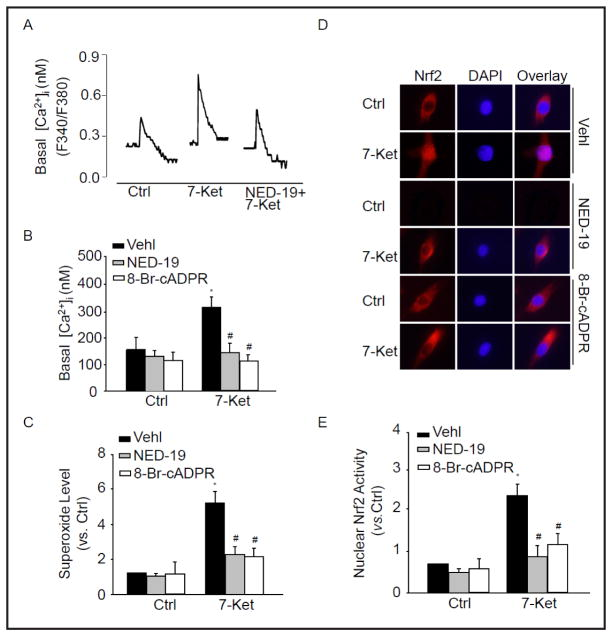 cADPR or NAADP-sensitive Ca 2+ regulates O 2 −. Production. CAMs were pretreated with 8-Br-cADPR (30 μM) or NED-19 (10 μM) and then stimulated with 7-Ket for 24 hours. Representative Ca 2+ traces (A) and summarized data (B) showing the level of cytosolic Ca 2+ in CAMs. (C) Summarized ESR data showing the relative O 2 −. production in CAMs before and after treatment with 8-Br-cADPR or NED-19. (D) Typical representative fluorescent images showing nuclear translocation of Nrf2 in CAMs pretreated with 8-Br-cADPR or NED-19. (E) Summarized data showing nuclear Nrf2 activity in CAMs pretreated with 8-Br-cADPR or NED-19. * P