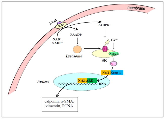 Working model in this project. In this model, Nrf2 plays an important role in the occurrence of proliferative and atherosclerotic phenotype when CD38 gene was silenced or deleted. CD38-derived enzyme product cADPR and NAADP and associated Ca 2+ signaling mechanisms are importantly implicated in the control of Nrf2 activation through NOX4-dependent O 2 ·− production.