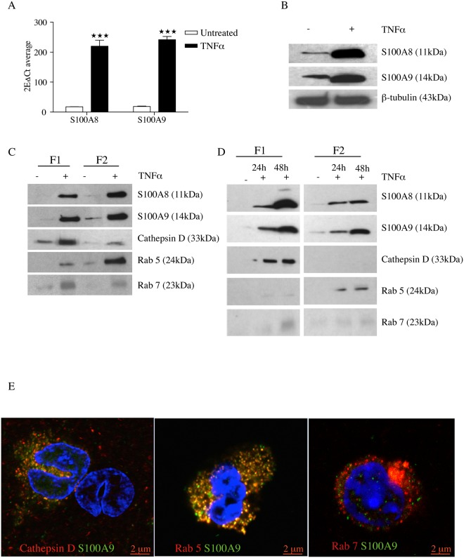 TNFα increases intracellular production of S100 proteins in <t>THP-1</t> cells and S100A8 and S100A9 is co-localized in the vesicles along the endocytic pathway. THP-1 cells were cultured for 48h in presence or absence of 10 ng/ml TNFα. S100A8 and S100A9 mRNA expression was determined using qRT-PCR and was normalized to β-actin mRNA level. Data indicate mean ± SD of triplicate samples. Differences between treated and untreated groups are significant at ***P