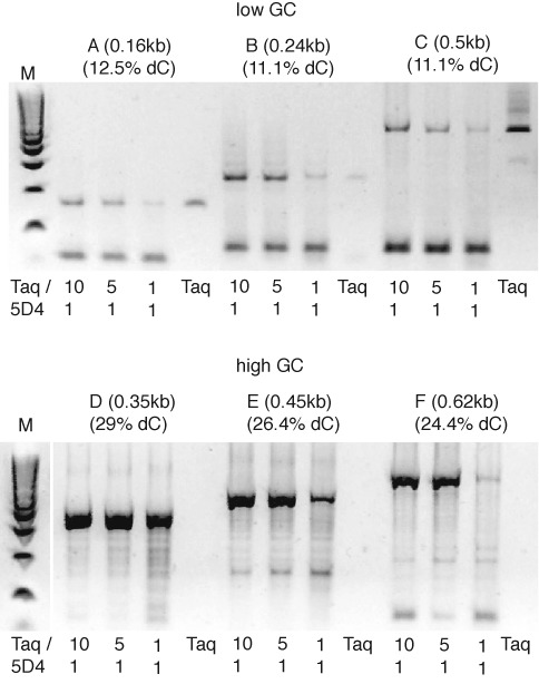 PCR amplification of bisulfite-treated plasmid templates. PCR amplification of bisulfite-treated high GC and low GC content templates ranging from 200–600 bp in size using fully desulphonated templates and three different 5D4/Taq blends (1/10, 1/5, 1/1) with progressively lower Taq content and Taq alone on low dC content plasmid regions (top panel) and high dC content plasmid regions (bottom panel). On templates with low dC content (and hence lower levels of dU and residual dhU6S adducts post bisulfite treatment and desulphonation) either Taq or Taq/5D4 polymerase blends with a high amount of Taq perform best. In contrast on the higher dC content templates only blends containing 5D4 yield amplicons with Taq/5D4 blends (10/1; 5/1) superior to 5D4/Taq 1/1 blend, while Taq alone does not yield any amplification products. Thus only 5D4/Taq blends are able to copy the high GC content templates indicating that the blended enzymes are more efficient at copying templates containing sporadic dUs (and dhU6S adducts) and dU homopolymer stretches. Low molecular weight bands result from primer-dimer formation. (M: E-Gel ® Low Range Quantitative DNA Ladder).