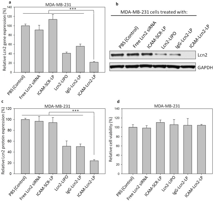 siRNA knockdown of Lcn2 gene expression at the transcript level were determined by qRT-PCR (a). Lcn2 protein levels in MDA-MB-231 cells treated with immunoliposomes were determined by immunoblot assay (b), and quantified by densitometric analysis (c) (*** p