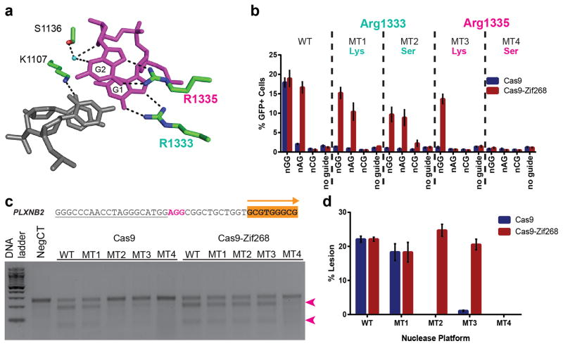 Attenuating nuclease activity of SpCas9. ( a ) Four PAM-interacting amino acids neighboring the nGG PAM (magenta) in the structure of SpCas9 7 . Arginines at positions 1333 and 1335 were mutated to attenuate DNA-binding affinity of SpCas9. ( b ) Activity profile of SpCas9 (blue) or SpCas9-Zif268 (red) bearing lysine or serine substitutions at positions 1333 or 1335 in the PAM interaction domain in comparison to wild-type (WT) SpCas9. Reporter assays were performed in HEK293T cells. Bar heights represent means from three independent biological replicates performed on different days. Error bars indicate standard error of the mean. ( c ) T7 Endonuclease I (T7EI) assays on PCR products spanning a genomic target site (underlined) with an NGG PAM (magenta) and neighboring Zif268 site (orange) for SpCas9 or SpCas9 mutants with or without a Zif268 fusion. For SpCas9 MT2 SpCas9 MT3 , robust nuclease activity is only observed when Zif268 is fused to the C-terminus. The gel image is representative of T7EI assays at this genomic target site, where cleaved products are noted by magenta arrowheads. ( d ) Quantification of average T7EI-based lesion rates at the PLXNB2 locus from three independent biological replicates performed on different days in HEK293T cells ( Supplementary Fig. 7 ). Error bars indicate standard error of the mean.
