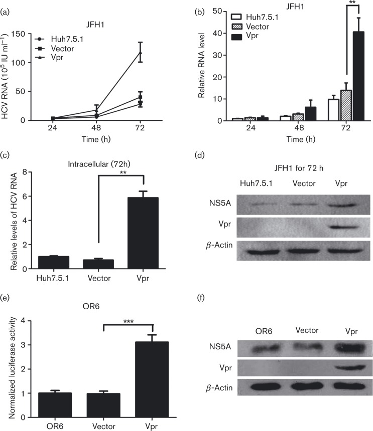 Vpr stimulates HCV replication in JFH1 infection model and OR6 cell lines. (a) Quantitative HCV RNA assay in cell culture supernatants from Huh7.5.1 cells transfected with Vpr and then infected with JFH1 at different times. (b) The relative fold change of HCV RNA levels in cell culture supernatants from Huh7.5.1 cells was measured, with the control non-transfected JFH1-infected Huh7.5.1 cells at 24 h being assigned a value of 1. (c) Quantitative PCR for intracellular HCV RNA levels in the transient Vpr or vector-transfected Huh7.5.1 cells at 72 h post-JFH1 infection. (d) Western blotting confirmed the expression of β-actin, NS5A and Vpr in Huh7.5.1 cell lines infected with JFH1. (e) Renilla luciferase assay in OR6 cell lines transfected with Vpr and controls. (f) Western blot analysis in OR6 cell lines confirmed the expression of β-actin, NS5A and Vpr. The data are presented as mean ± sd. ** P