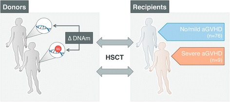 Overview of the study design. We aimed to identify specific epigenetic marks in peripheral blood of healthy graft donors that delineate aGVHD severity in HLA-matched sibling recipients prior to HSCT. At the discovery stage, we assessed genome-wide DNA methylation levels in peripheral blood of 85 HSCT donors, matched to recipients with various transplant outcomes, that is, 'severe' aGVHD (grades III + IV; n = 9) and 'no/mild' aGVHD (grades 0, I + II; n = 76). HSCT recipients received reduced-intensity (non-myeloablative) T cell-depleted conditioning using in vivo alemtuzumab. At the replication stage, we used a semi-quantitative DNA methylation assay, MethyLight, which can be easily used in a clinical setting. We validated the top-ranked differentially methylated positions associated with aGVHD severity status in donors in the context of both T cell-depleted and T cell-replete conditioning regimens for HSCT
