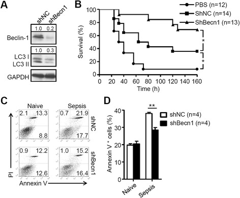 Inhibition of autophagy improves survival of MSCs in CLP mice. a MSCs were stably infected with negative control lentiviral vector ( shNC ) or with vector expressing shRNA to inhibit Beclin-1 ( shBecn1 ); western blot analysis of shNC-MSCs and shBec1-MSCs. b Survival curves of CLP mice treated with phosphate-buffered saline ( PBS ; n = 12 mice per group), shNC-MSCs (n = 14 mice per group) or shBec1-MSCs (n = 13 mice per group) intravenously (1 × 10 6 cells/mouse). c , d shNC-MSCs or shBec1-MSCs were mixed with matrigel and were injected into naive and CLP mice subcutaneously for 24 hours. c Then MSCs were isolated and stained with annexin V/prodium iodide ( PI ) for apoptosis assay. d Percentage of MSC apoptosis after injection into naive (n = 4 mice per group) and CLP mice (n = 4 mice per group); data are shown as mean ± SEM. * P