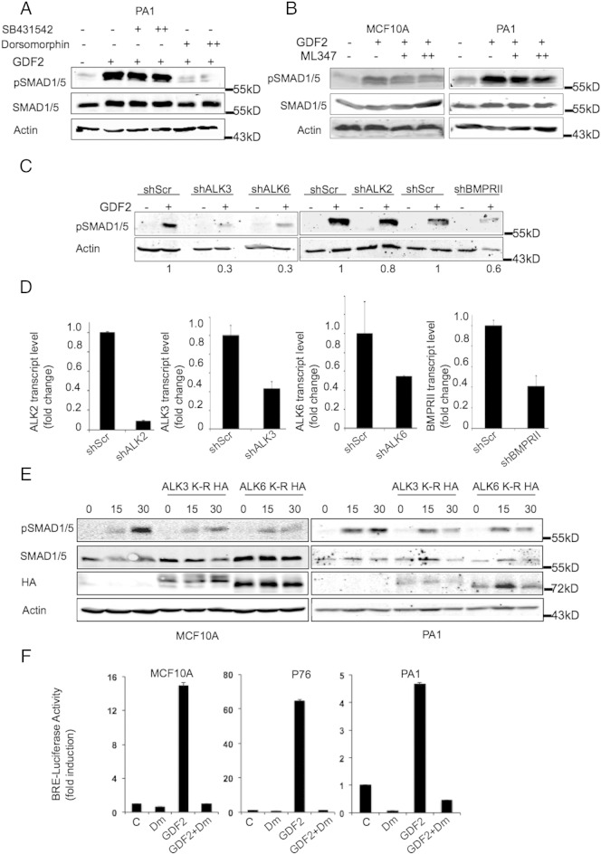 ALK3 and ALK6 are required for GDF2-induced SMAD1/5 phosphorylation. (A-B) Western blotting for pSMAD1/5 activation in PA1 and MCF10A cells in the presence and absence of dorsomorphin 1 μM (+) or 3 μM (++), SB431542 3 μM (+) or 5 μM (++), or ML347 500 nM (+) or 1 mM (++) as indicated with and without GDF2 (10 ng/ml) as indicated (quantification of pSMAD1/5 levels presented in Supplementary Figure S2 C ). (C) Immunoblotting of pSMAD1/5 in PA1 cells in the presence of shRNAs to ALK2, ALK3, ALK6, and BMPRII without and with GDF2 treatment (10 ng/ml) for 30 minutes. (D) QRT-PCR analyses of (C) to confirm reduced expression of ALK2, ALK3, ALK6, and BMPRII expression as indicated. (E) Kinase inactive ALK3 and ALK6 inhibit SMAD1/5 phosphorylation. Western blotting as indicated in MCF10A and PA1 cells in the presence of either mock transfected or HA-tagged kinase inactive ALK3 (ALK3 K-R) or ALK6 (ALK6 K-R) and treated with GDF2 for the time points indicated. Actin was the loading control. (F) Dorsomorphin inhibits SMAD1/5 transcriptional activation. BRE-luciferase reporter activity in indicated cells in the absence (GDF2 alone) or presence of 1 μM dorsomorphin (GDF2+DM). Fold induction of luciferase activity compared with DMSO-treated control cells is presented.