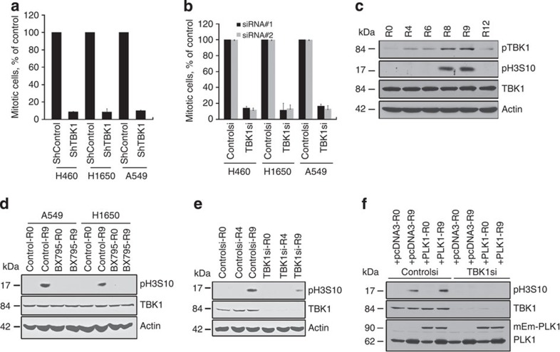 Inhibition or silencing of TBK1 induces mitotic defects and inhibits mitosis. ( a ) Knockdown of TBK1 by transfecting two different siRNAs in A549 and H1650 cells resulted reduces the number of mitotic cells. Control siRNA refers to transfection with a non-targeting siRNA, ( b ) Knockdown of TBK1 using lentiviral shRNA in H1650, H460 and A549 cells reduces the number of mitotic cells, For a , b , error bars represent standard deviation (s.d.) * P