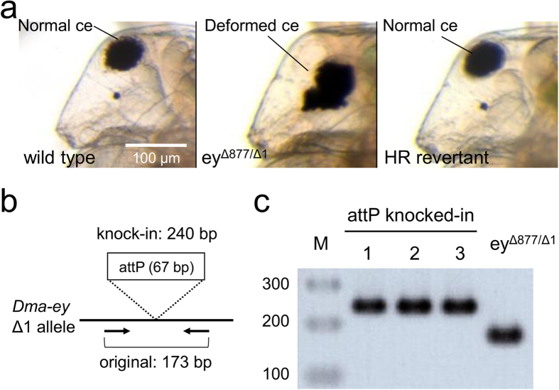Comparison of phenotypes and genotypes between parental ey Δ877/Δ1 strain and HR revertants. ( a ) Lateral pictures of wild type (left), parental ey Δ877/Δ1 strain (centre), and HR revertant (right). The ey Δ877/Δ1 strain shows the deformed, non-spherical compound eye (ce) phenotype. The HR revertant shows the normal eye phenotype and wild type strain. Scale bar indicates 100 μm. ( b ) Schematic illustration of genomic PCR to check the integration of attP into the Dma-ey Δ1 allele. Black thick bar indicates the Dma-ey Δ1 allele. Primers are shown by arrows. The attP knock-in results in 240 bp long PCR products, whereas no modification gives 173 bp long PCR products. ( c ) Agarose gel electrophoresis of genomic PCR products using HR revertant strains. 1 and 2 are derived from co-injection of TALEN mRNAs and targeting plasmid, whereas 3 is derived from co-injection of TALEN mRNAs and ssODN with 80 nt homology. attP knocked-in HR revertants showed 240 bp PCR products, whereas parental ey Δ877/Δ1 strain showed 173 bp PCR products. M indicates the marker DNA.