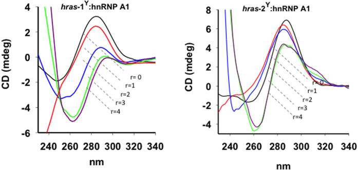 Circular dichroism analysis of 3 μM (0.5 cm pathlength cell) hras -1 Y and hras -2 Y at pH 5.5, 50 mM Tris-acetate, 50 mM KCl, after incubation with increasing amounts of hnRNP A1 (r = 0–4). Spectra of DNA-protein complex have been subtracted of protein spectrum.