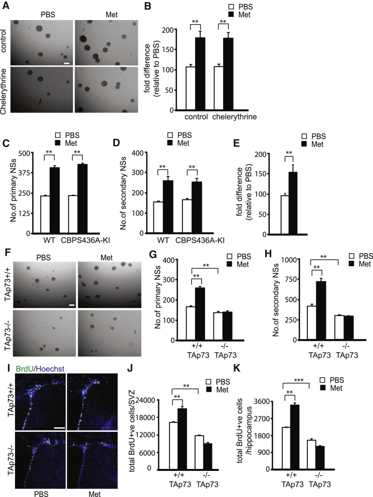 TAp73 Is Required for Metformin-Induced Self-Renewal and Proliferation of Adult Neural Precursors (A and B) Primary neurospheres (NSs) were cultured from the SVZ of adult mice (3 months old) in the presence or absence of metformin (Met) and treated with the pan-PKC inhibitor, chelerythrine. (B) Quantification of primary neurospheres following 6 days in culture was done based on representative micrographs shown in (A). Scale bar, 200 μm. ∗∗ p ≤ 0.01 (pooled data from four independent experiments). (C) The SVZ of 3-month-old WT and CBPS436A-KI mice was dissected and cultured, and primary neurosphere formation was quantified 6 days later in the presence and absence of metformin. ∗∗ p ≤ 0.01. (pooled data from three independent experiments). (D) Metformin- or PBS-treated primary neurospheres (as in A) from both genotypes were passaged into untreated media, and the number of secondary neurospheres was quantified 4 days later. ∗∗ p ≤ 0.01. (pooled data from three independent experiments). (E) qRT-PCR for TAp73 mRNA performed on RNA extracted from primary neurospheres grown in the presence or absence of metformin. ∗∗ p ≤ 0.01 (n = 4 for each group). (F–H) Primary neurospheres were cultured from the SVZ of 3-month-old TAp73 +/+ and TAp73 −/− mice in either the presence or absence of 500 nM metformin. Scale bar, 200 μm. (G) Quantification of primary neurospheres from both genotypes following metformin exposure was done based on representative micrographs shown in (F). ∗∗ p ≤ 0.01 (pooled data from four independent experiments). (H) Primary neurospheres cultured with or without metformin (as in A) from both genotypes were passaged into untreated media, and secondary neurospheres were counted 4 days later. ∗∗ p ≤ 0.01 (pooled data from four independent experiments). (I) Confocal micrographs of representative coronal sections through the lateral ventricles of metformin- or PBS-injected TAp73 +/+ and TAp73 −/− mice, stained for BrdU (green) 24 hr after BrdU injection. Sections a