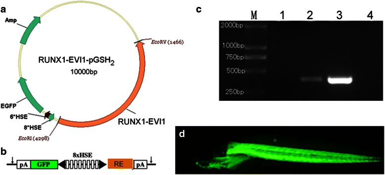 Generation of Tg(RE:HSE:EGFP) zebrafish line. ( a ) Schematic diagram of the structure of PSGH2/RUNX1-Evi-1 recombinant plasmid. A human-RUNX1-Evi-1 fragment was cloned into the EcoRI and EcoRV sites of the PSGH2 vector. ( b ) A schematic presentation of the eight multimerized heat shock element (HSE) promoter, which is flanked by two minimal promoters in opposed orientation (black arrowhead) to bidirectionally induce EGFP and RUNX1-Evi-1 expression. The vector is flanked by I-SceI meganuclease sites (arrows). pA, SV40 polyadenylation signal. ( c ) Transgenic verification by PCR: M: TAKARA DL2000 marker; lane 1 and 2: wild type and Tg(RE:HSE:EGFP) zebrafish larvae at 3 dpf, respectively; lane 3: PSGH2/RUNX1-Evi-1 plasmid; lane 4: double distilled water. ( d ) EGFP expression in Tg(RE:HSE:EGFP) zebrafish F2 generation at 3dpf (×4)