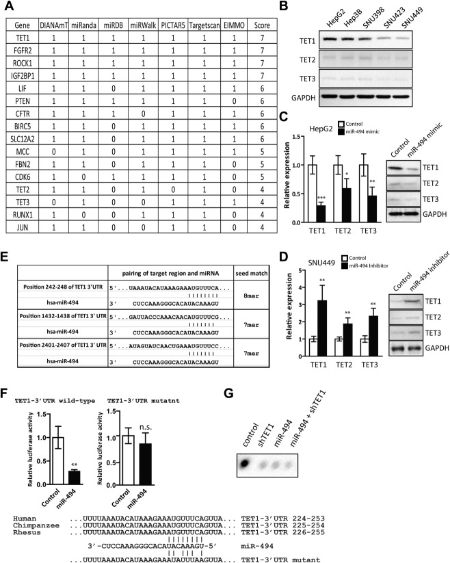 miR-494 triggers gene inactivation of multiple invasion-suppressor microRNAs by targeting TET methylcytosine dioxygenase. (A) A list of selected high-scoring predicted miR-494 targets was produced by various programs using different algorithms. (B) Cell lysates isolated from five HCC cell lines were subjected to western blotting analysis for TET1, TET2, and TET3 proteins. (C and D) Total RNAs or cell lysates isolated from HepG2 cells transfected with miR-494 mimic or (C) SNU449 cells transfected with miR-494 inhibitor (D) were subjected to qRT-PCR or western blotting analysis for TET1, TET2, and TET3 mRNA. Data are represented as mean ± standard deviation (SD) from five independent experiments. (E) Putative binding sites of miR-494 in TET1 3′ UTR. Predicted 8- or 7-mer binding seeds of miR-494 to TET1 3′ UTR are indicated with vertical lines. (F) Luciferase assay of the TET1 3′ UTR luciferase plasmid. CV-1 cells were transiently cotransfected with the wild-type or miR-494-binding mutant of human TET1 3′ UTR luciferase plasmid with Renilla luciferase reporter for normalization. Data are represented as mean ± SD from four independent experiments. Putative miR-494-binding site on the 242-248 base-pair region of TET1 3′ UTR was mutated as indicated. (G) gDNA purified from HepG2 cells transfected with miR-494 or TET1 short hairpin RNA-expressing vector or the negative control was denatured and neutralized. Global 5hmC levels were then determined using a dot blot assay with anti-5hmC antibody. * P