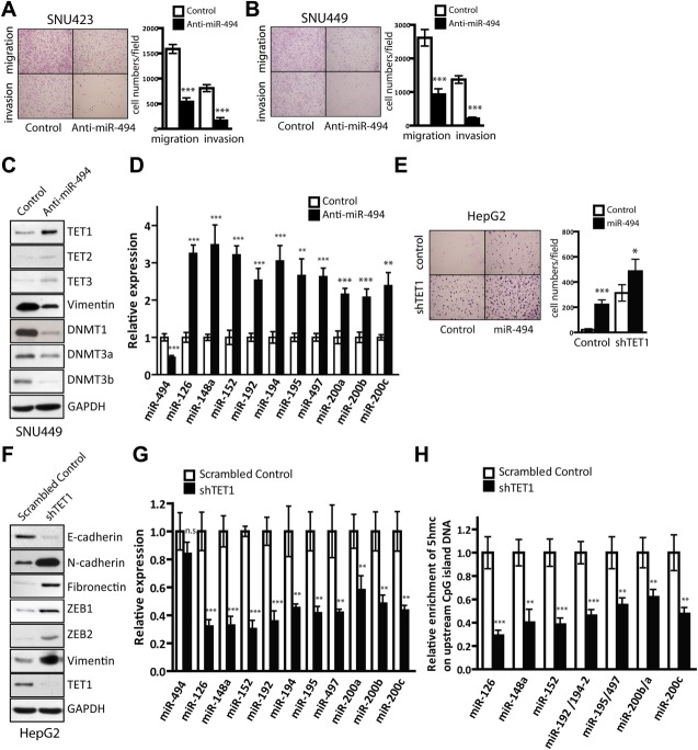 Knockdown of miR-494 or TET1 impacts on HCC cell invasion ability and expression of multiple invasion-suppressor miRNAs. (A and B) (A) SNU449 cells or (B) SNU423 cells, stably transduced with anti-miR-494 or anti-miR control vector, were subjected to cell migration and invasion assays. Migrated/invaded cells in fields were quantified and representative photographs are shown. Data are represented as mean ± standard deviation (SD) from four independent experiments. (C) Cell lysates from SNU449 cells, stably transduced with anti-miR-494 expressing vector or anti-miR control vector, were subjected to western blotting analysis for the indicated proteins. (D) qRT-PCR analysis of the indicated miRNAs with total RNAs from SNU449 cells transduced with anti-miR-494 or anti-miR control. Data are represented as mean ± SD from five independent experiments. (E) HepG2 cells transduced with the combination of miR-494, TET1 short hairpin RNA (shRNA) or the control vectors were subjected to the cell migration assay and then migrated cells were quantified. Data are represented as mean ± SD from four independent experiments. (F) Cell lysates from HepG2 cells transduced with TET1 shRNA or the scrambled control vector were subjected to western blotting analysis for the indicated proteins. (G) qRT-PCR analysis of invasion-suppressor miRNAs with total RNAs isolated from HepG2 transduced with TET1 short hairpin RNA (shRNA) and the scrambled control. Data are represented as mean ± SD from five independent experiments. * P