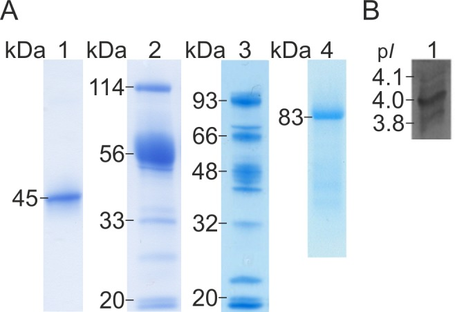 Gel electrophoretic (SDS-PAGE) separation and isoelectric focusing (IEF) of D . <t>squalens</t> enzymes. (A) SDS-PAGE of chromatographically purified <t>CBHI</t> fraction, heterologously produced rCel6A, and purified CDH of D . squalens . Lane 1, CBHI fraction; lane 2, rCel6A; lane 3, T . reesei culture filtrate without cel6a insert; lane 4 CDH. (B) IEF analysis of CBHI fraction of D . squalens .