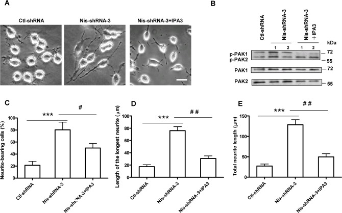 PAK1 activity is important for Nischarin-regulated neurite outgrowth in Neuro-2a cells. (A) Representative images of Neuro-2a cells transfected with Nis-shRNA-3 and treated with the PAK1 inhibitor IPA3. Scale bar: 20 μm. (B) Neuro-2a cells were transfected with Nis-shRNA-3 and treated with IPA3. Phosphorylation of PAK1/2 was determined by western blot assay. IPA3 treatment reversed the increases in the number of neurite-bearing cells (C) , the mean length of the longest neurite (D) , and total length of neurite per cell (E) in Nischarin-suppressed cells. Asterisks indicate significant differences between ctl-shRNA and Nis-shRNA (*** p