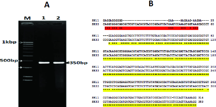 Visualization of PCR amplification products (A) and DNA nucleotide sequence (B) of the 16S rRNA gene of the two selected bacterial isolates (SH11 and SH33). Lane M: 1 KBP DNA marker; Lane 1: isolate SH11; Lane 2: isolate SH33.
