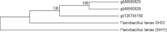 Phylogenetic tree of the two Egyptian bacterial isolates and the other three P. larvae bacterial strains based on the DNA nucleotide sequences of the <t>16S</t> <t>rRNA</t> gene. The phylogeny was constructed by the Meg4 program (neighbour-joining tree).