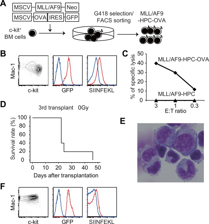 Establishment of MLL/AF9 leukemia cells expressing a model tumor antigen. (A) Scheme for establishment of MLL/AF9-HPC-OVA cells. (B) FACS analysis of MLL/AF9-HPC-OVA cells. Blue lines represent MLL/AF9-HPC cells. (C) 51 Cr-release assay using activated CD8 + T cells from the OT-1 mouse as effector cells. MLL/AF9-HPC-OVA or MLL/AF9-HPC cells were used as targets. E:T ratio denotes effector-per-target ratio. (D) Kaplan–Meier curves for overall survival of wild-type mice that received 1 × 10 6 MLL/AF9-HPC-OVA cells in the third transplant (n = 5). Recipient mice were not irradiated. Results from the first and second transplants are shown in S1 Fig . (E) May–Giemsa staining of MLL/AF9-OVA leukemia cells that developed in non-irradiated recipients (Magnification: 400×). (F) Flow-cytometry analysis of GFP + BM cells from mice with leukemia. Blue lines represent MLL/AF9-HPC cells.