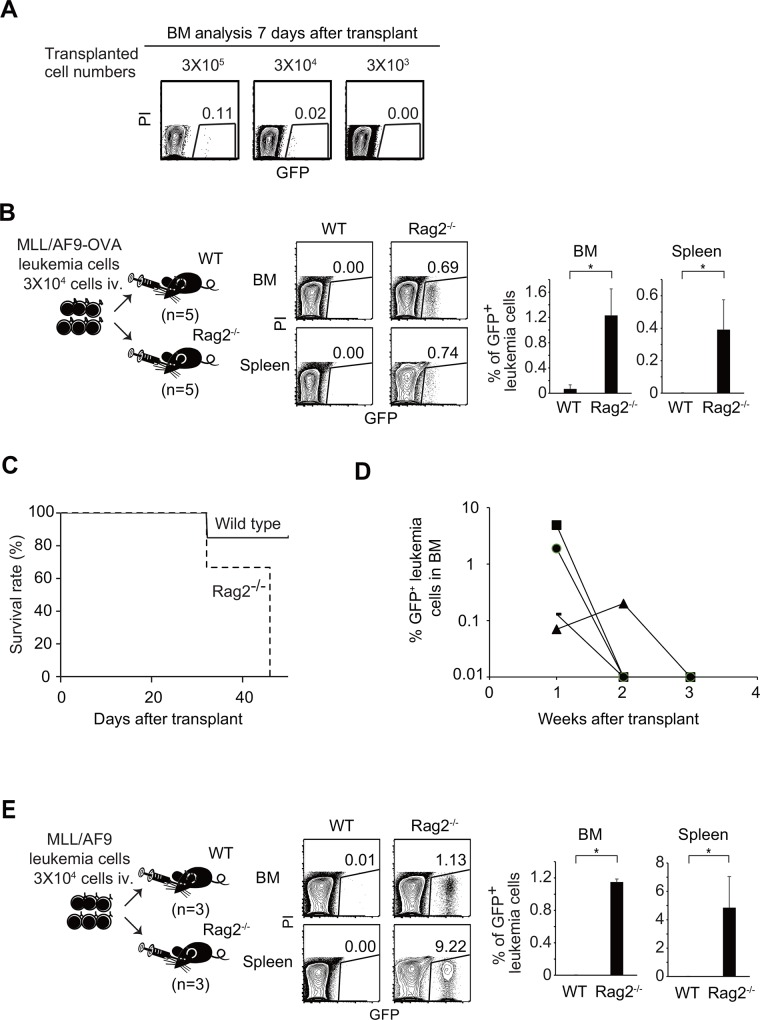Spontaneous regression of leukemia was observed in the presence, but not in the absence, of adaptive immunity. (A) Flow-cytometry analyses of BM cells of non-irradiated wild-type recipients 7 days after transplantation with different numbers (3 × 10 3 , 3 × 10 4 , or 3 × 10 5 ) of MLL/AF9-OVA leukemia cells. (B) FACS analysis of BM from non-irradiated wild-type or Rag2 -/- mice transplanted with 3 × 10 4 MLL/AF9-OVA leukemia cells. Mice were analyzed 3 weeks after transplant. (C) Kaplan–Meier curves for overall survival of non-irradiated wild-type (n = 7) or Rag2 -/- (n = 3) recipients transplanted with 3 × 10 4 MLL/AF9-OVA leukemia cells. (D) Percentages of GFP + leukemia cells in BM after transplantation into non-irradiated wild-type mice were examined every week. Each dot and line corresponds to a recipient mouse. The results of four mice in which leukemia spontaneously regressed (Exp. 3 in Table 1 ) are shown. (E) FACS analysis of BM from non-irradiated wild-type or Rag2 -/- mice transplanted with 3 × 10 4 of MLL/AF9 leukemia cells (OVA-). Mice were analyzed 3 weeks after transplant.