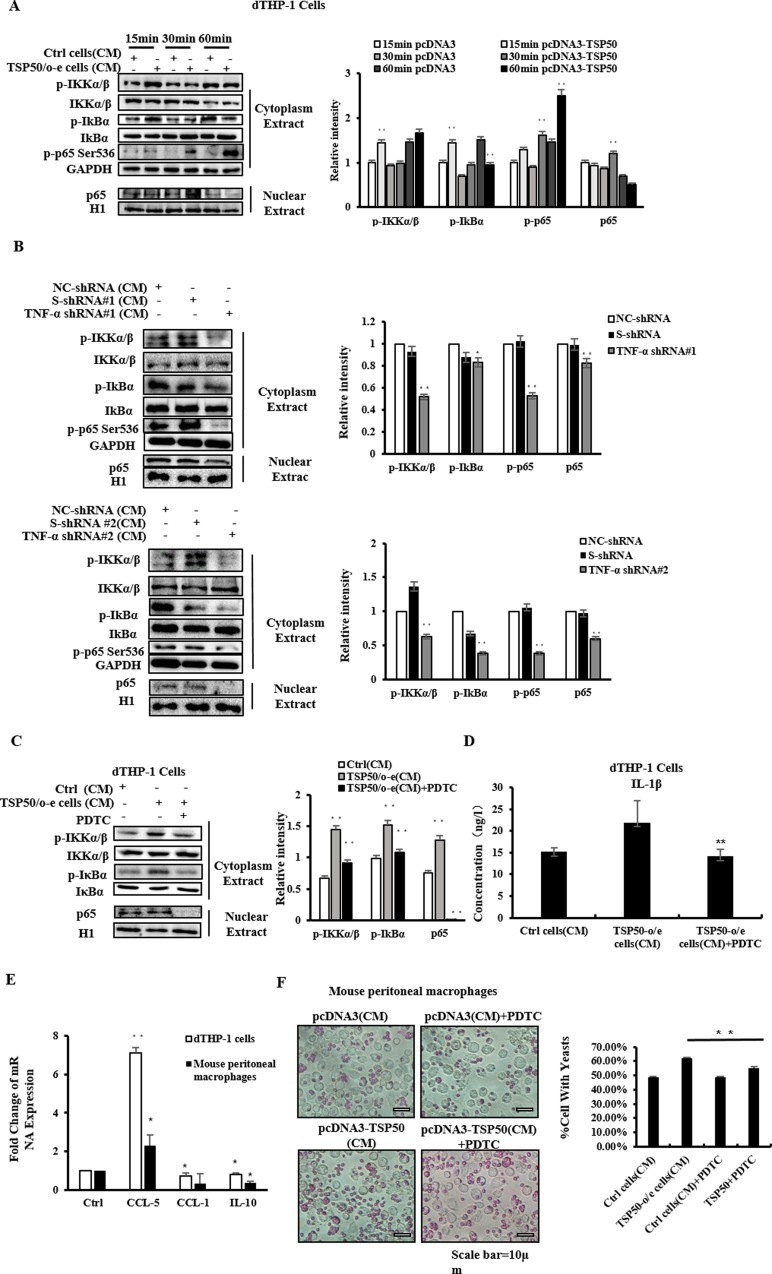 CM of TSP50-o/e cells regulates of macrophages activities via NF-κB pathway. (A) Macrophages were treated with CM from TSP50-o/e cells or control cells for 15min, 30min or 60min. The activation of NF-κB pathway in dTHP-1 cells was then analyzed by western blotting. (B) Mouse macrophages were treated with CM from TNF-α knock-down TSP50-o/e cells for 30min. The activation of NF-κB pathway in dTHP-1 cells was then analyzed by western blotting. (C) dTHP-1 cells were pretreated with 25μg/mL of NF-κB inhibitor PDTC for 30min and then the culture medium were replaced with fresh medium containing 30% of CM from TSP50-o/e cells or control cells. After 30-min incubation, the activation of NF-κB pathway was analyzed by western blotting. (D) dTHP-1 were treated with PDTC and CM from TSP50-o/e cells for 24 hours. The CMs were collected and subjected to ELISA to detect the production of IL-1β. (E) dTHP-1 cells and mouse peritoneal macrophages were incubated in culture medium containing PDTC and CM of TSP50-o/e cells or control cells for 24 hours. Real-time PCR was used to determine the mRNA level of macrophage phenotypic markers. (F) Phagocytic activities of mouse peritoneal macrophages were determined following co-treatment with PDTC and CM from TSP50-o/e cells for 24 hours. GAPDH was used as the internal control to check the efficiency of cDNA synthesis and PCR amplification. Data are shown as mean ± SD of three independent experiments. * p