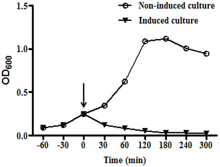 Growth kinetics of E . coli ghosts harbouring pET28a- E lysis plasmid. The transformed bacteria with gene E of bacteriophage PhiX174 was grown at 37°C until mid-log phase (OD600 = 0.25). The culture was split and one part was induced by the addition of 1 mM IPTG whereas the other part served as a non-induced control. The growth was monitored by measuring the optical density (OD 600nm ) of culture at various time points. After induction (indicated by arrow), BGs showed rapid decrease in OD indicative of lysis whereas the uninduced culture showed growth of bacteria as indicated by an increase in OD.