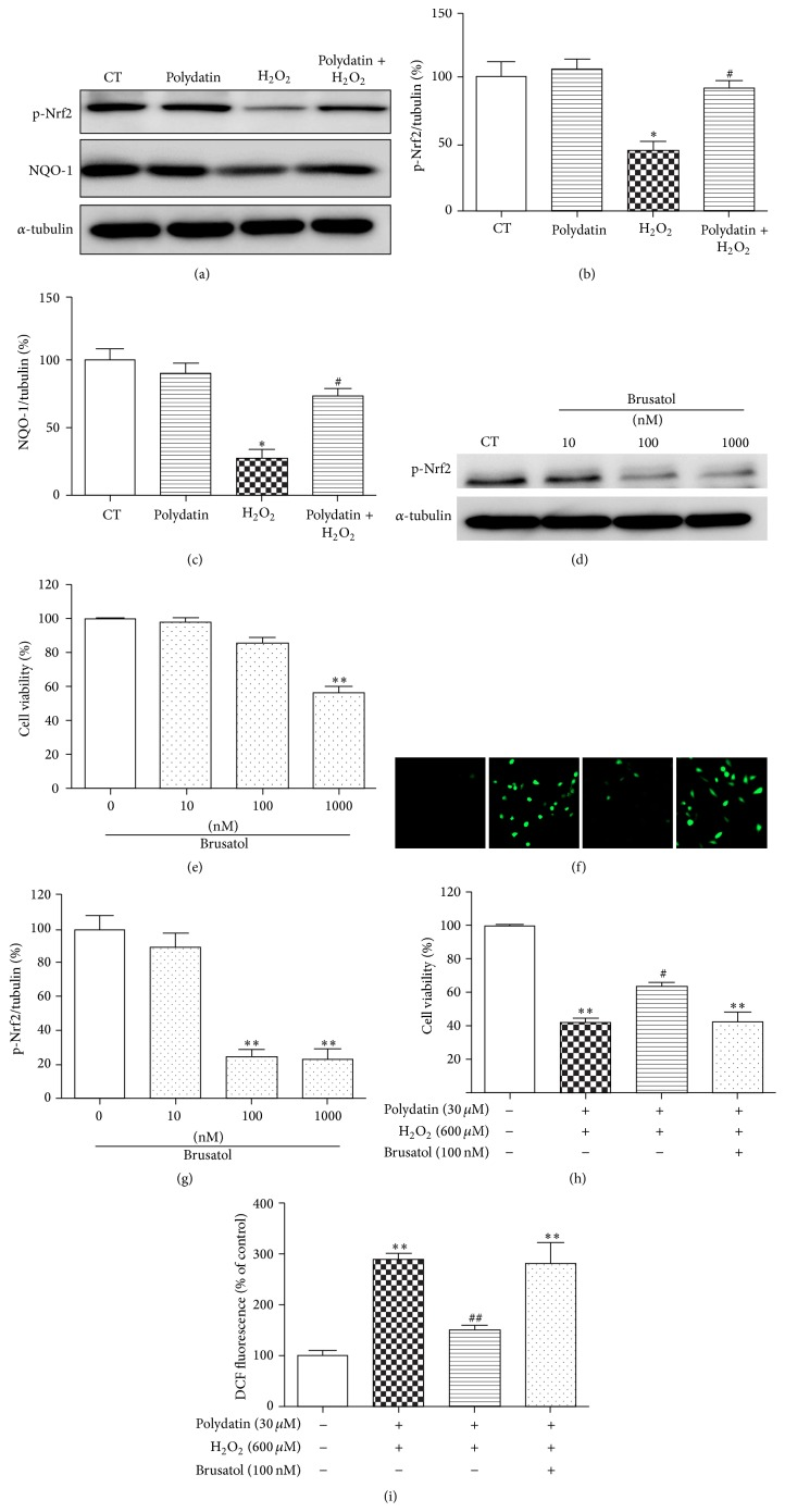 Polydatin protected BMSCs against H 2 O 2 -induced cell death partly through Nrf 2/ARE pathway. BMSCs were pretreated with polydatin for 2 h and further exposed to H 2 O 2 for 12 h. (a) Effects of polydatin on <t>NQO-1</t> and the phosphorylation of Nrf 2. (b, c) Quantitative analysis of the blots was shown in panel after being normalized by α -tubulin. (d) Cells were treated with different concentration of brusatol for 24 h. Effects of brusatol on phosphorylation of Nrf 2 were detected by Western blot and (g) the bands were normalized by α -tubulin. (e) Cell viability was tested in the presence of different concentration of brusatol. (h) BMSCs were pretreated with brusatol (100 μ M) for 1 h followed by incubating with/without polydatin and H 2 O 2 for 24 h. (f) ROS production was detected by H2DCF-DA staining. (b) Quantitative analysis of DCF fluorescent intensity. One-way ANOVA followed by Tukey's test. ∗ p
