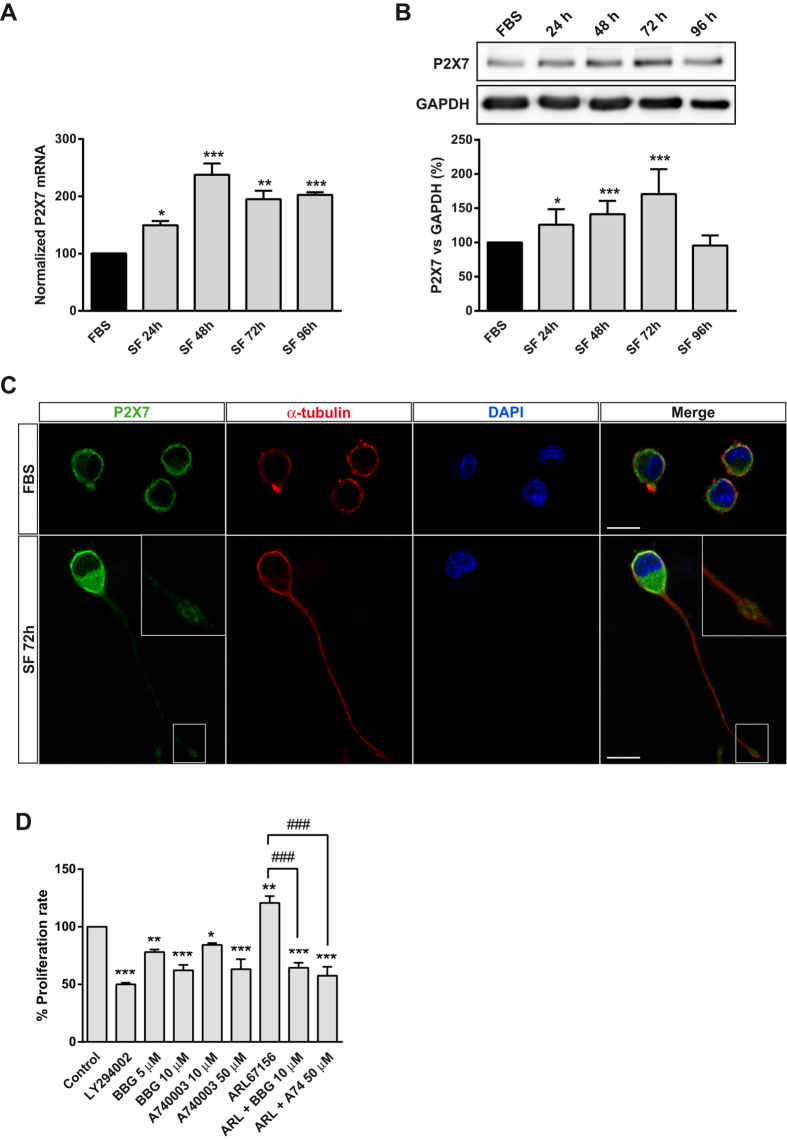 P2X7R expression is upregulated in serum-deprived neuroblastoma cells. ( A ) Changes in P2X7 transcript levels in N2a cell line cultured either in standard culture medium (FBS) for 24 h or in serum free medium (SF) for the indicated time periods. Total RNA was extracted and P2X7 mRNA was quantified by Q-PCR as described in M ethods . GAPDH was used as a control for differences in cDNA input. Results are mean ± s.e.m. of three independent experiments in triplicate; * P ≤ 0.05, ** P ≤ 0.01, *** P ≤ 0.001 vs FBS (ANOVA with the Dunnett's post hoc test). ( B ) Immunoblotting depicting the presence of endogenous P2X7R in whole-cell lysates from N2a cells cultured either in FBS for 24 or in SF at the indicated time points. Cell lysates were analyzed by western blotting with anti-P2X7R (intracellular epitope) antibody. GAPDH was used as internal loading control. Histogram represents P2X7 protein levels at the indicated time periods obtained by densitometry and normalization to GAPDH. The values represent mean ± s.e.m. of three independent experiments in duplicate. * P ≤ 0.05, *** P ≤ 0.001 vs FBS (ANOVA with the Dunnett's post hoc test). ( C ) Double immunofluorescence for P2X7R (green) and α-tubulin (red) in N2a cells cultured either in FBS for 24 h or in SF medium for 72 h. Nuclei were counterstained with DAPI (blue). Insets depict enlarged views (2.5X magnification) of delimited area. Scale bar = 15 μm. ( D ) Proliferation of serum-starved N2a cells treated with LY294002 (50 μM), BBG (5 or 10 μM), A740003 (10 or 50 μM) and/or ARL67156 (100 μM) for 48 h. Values were normalized to those obtained from untreated control cells, set as 100% proliferation rate. Results are mean ± s.e.m. of three independent experiments in triplicate. * P ≤ 0.05, ** P ≤ 0.01, *** P ≤ 0.001 vs control (ANOVA with the Dunnett's post hoc test); ### P