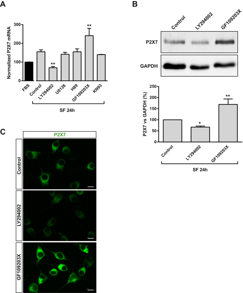 Involvement of PI3K and PKC in the regulation of P2X7R expression in neuroblastoma cells following serum withdrawal. ( A ) N2a cells were incubated in FBS medium for 24 h or in SF medium in absence (control) or presence of LY294002 (50 μM, PI3K inhibitor), U0126 (10 μM, MEK/ERK1/2 inhibitor), H89 (1 μM, PKA inhibitor), GF109203X (5 μM, pan PKC inhibitor) or KN93 (1 μM, CaMKII inhibitor) in SF medium for 24 h. Total RNA was extracted and P2X7 mRNA was quantified by Q-PCR, using GADPH as housekeeping gene. Normalized P2X7 transcript levels in cells cultured in FBS was set as 100%. Results are mean ± s.e.m. of three independent experiments in triplicate. ** P ≤ 0.01 vs control (ANOVA with the Dunnett's post hoc test). ( B ) Immunoblotting showing the presence of endogenous P2X7R in N2a cells cultured in SF medium for 24 h in the absence (control) or presence of either LY294002 or GF109203X. Whole-cell lysates were analyzed by western blotting with anti-P2X7R antibody. GAPDH was used as internal loading control. Histogram represents levels of P2X7 protein in control cells compared to treated cells and were obtained by densitometry and normalization to GAPDH. Values are mean ± s.e.m. of three independent experiments in duplicate; * P ≤ 0.05, ** P ≤ 0.01 vs control (ANOVA with the Dunnett's post hoc test). ( C ) Immunofluorescence for P2X7R (green) in N2a cells cultured in SF medium for 24 h in the absence (control) or presence of either LY294002 or GF109203X. Scale bar = 15 μm.
