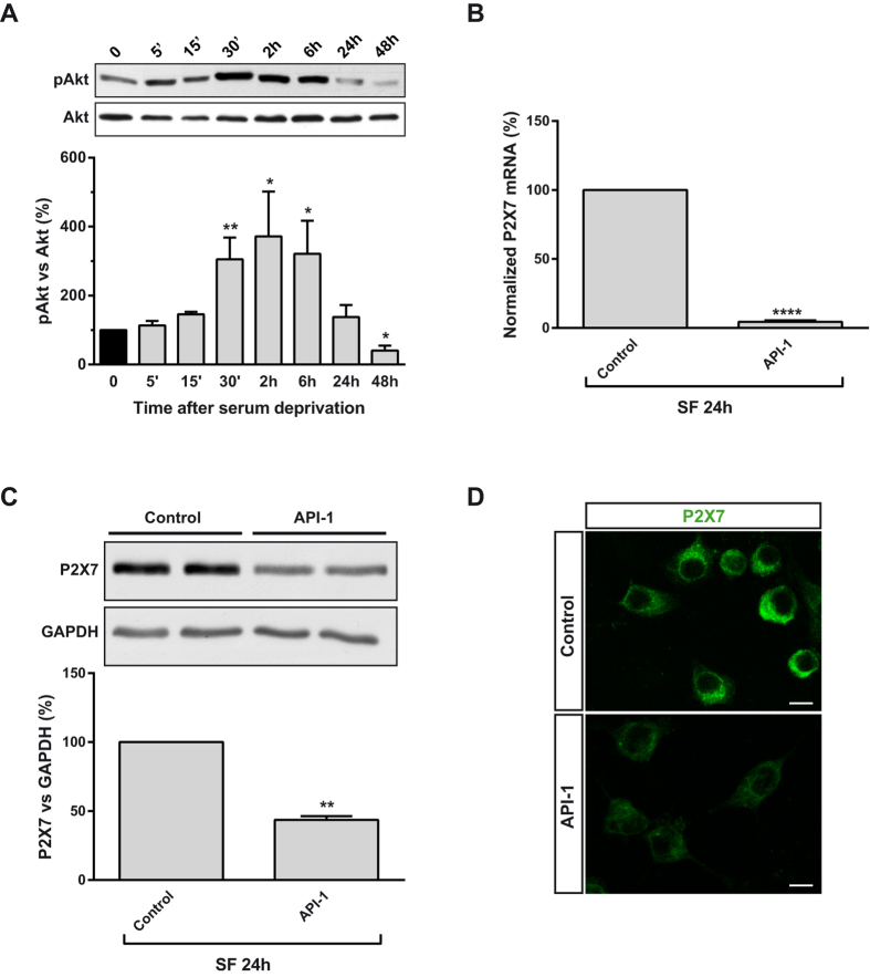 Akt activation induced by serum withdrawal triggers upregulation of P2X7R receptor expression in neuroblastoma cells. ( A ) Changes in Akt phosphorylation in N2a cells cultured in SF medium for the indicated time points. Whole-cell lysates were analyzed by western blotting with antibodies against phospho-Akt (Thr 308 ) or total Akt. Histogram represents relative levels of phospho-Akt (pAkt) during the whole detection period, obtained by densitometry and normalization to total Akt. The values represent mean ± s.e.m. of four independent experiments in duplicate. * P ≤ 0.05, ** P ≤ 0.01 vs time = 0 (ANOVA with the Dunnett's post hoc test). ( B ) N2a cells were incubated in absence or presence of API-1 (10 μM, Akt inhibitor) in SF medium for 24 h. Total RNA was extracted and P2X7 mRNA was quantified by Q-PCR, using GADPH as housekeeping gene. Results are mean ± s.e.m. of three independent experiments in triplicate. *** P ≤ 0.001 vs control (t-test). ( C ) Immunoblotting depicting the presence of endogenous P2X7R in whole-cell lysates from N2a cells cultured in SF medium for 24 h in the absence (control) or presence of API-1. Whole-cell lysates were analyzed by western blotting with anti-P2X7R antibody. GAPDH was used as internal loading control. Histogram represents levels of P2X7 protein in control cells compared to treated cells, obtained by densitometry and normalization to GAPDH. Values are mean ± s.e.m. of three independent experiments in duplicate; ** P ≤ 0.01 vs control (t-test). ( D ) Immunofluorescence for P2X7R (green) in N2a cells cultured in SF medium for 24 h in the absence (control) or presence of API-1. Scale bar = 15 μm.