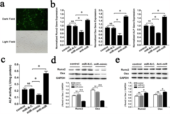 miR-132-3p inhibits osteoblast differentiation in vitro . To study the effects of miR-132-3p on osteoblast differentiation, prOB cells were transfected with either a miR-132-3p mimic (miR-mimic, 60 nM), an inhibitor (anti-miR, 80 nM) or its homologous miRNA negative control (miR-N.C.). ( a ) Representative fluorescent images of prOB cells transfected with a miRNA nucleoside analogue for 24 h. The upper panel shows fluorescence in a dark field, and the lower panel shows the same cells in a bright field (original magnification 200×). ( b,c ) Osteoblast differentiation was confirmed by qRT-PCR analysis of osteoblast marker genes (Runx2, Osx and ALP normalized to GAPDH) and activity analysis of the ALP protein at 48 h. (n = 3). ( d,e ) Western blot analyses of Runx2 and Osx protein expression were performed and quantified using ImageJ software. (n = 4). For each group, values are mean ± SD, * P