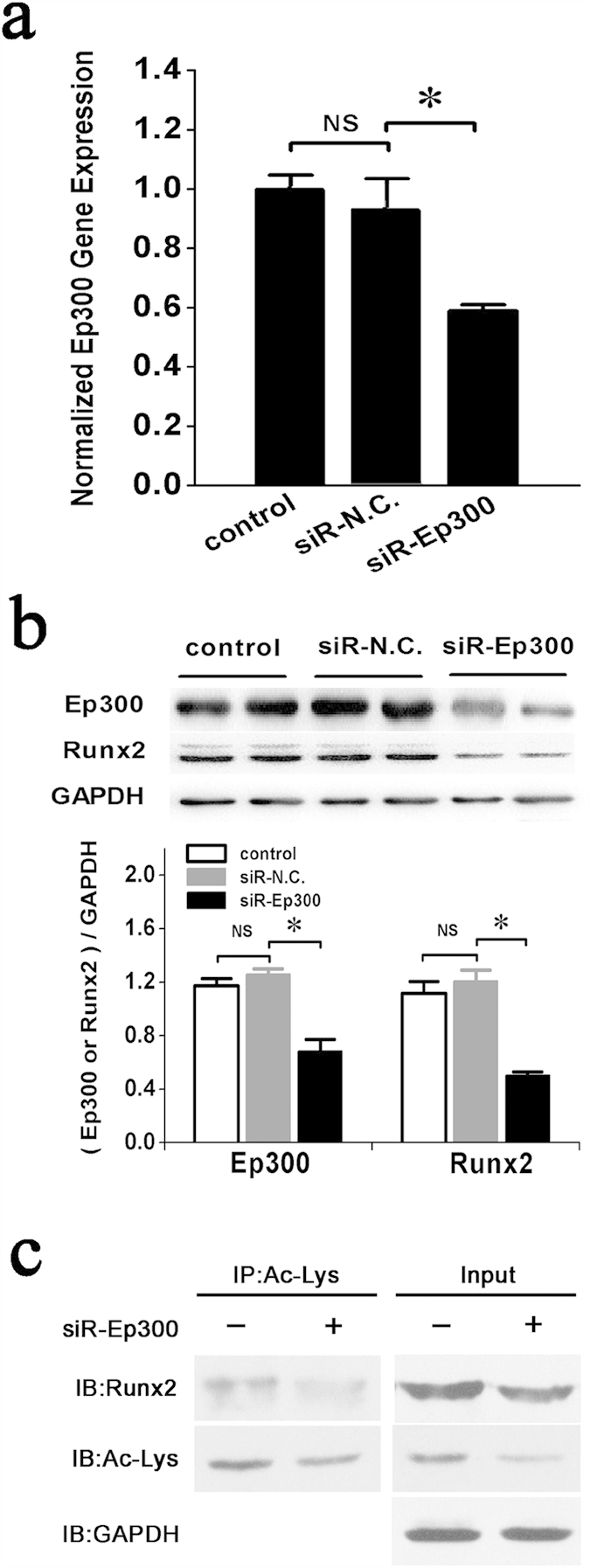 Inhibition of Ep300 expression by miR-132-3p decreases the stability and acetylation levels of Runx2. ( a ) qRT-PCR analysis of Ep300 gene expression in prOB cells was performed after transfection with siRNA-Ep300. (n = 3). ( b ) Western blot examination of Runx2 protein expression in prOB cells in which Ep300 expression was inhibited by siRNA. (n = 4). ( c ) Levels of acetylated Runx2 were detected by immunoprecipitation using an anti-acetyl-lysine antibody (Ac-lys), followed by a western blot with an anti-Runx2 antibody. (n = 3). For each group, values are mean ± SD, * P