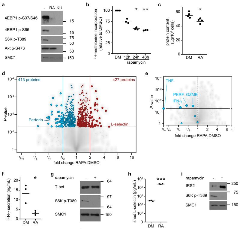 The mTORC1 regulated CTL proteome (a) Immunoblot analysis of mTORC1/2 substrates in P14 TCR transgenic CTLs cultured with IL-2/IL-12 ± 48 h treatment with either rapamycin or KU-0063794. (b) Protein synthesis was examined by monitoring 3 H-Met incorporation into nascent proteins in CTLs cultured in IL-2/IL-12 and treated with rapamycin for the indicated time. (c) Cellular protein content of CTLs ± 48 h rapamycin. (d, e,) Volcano plots showing fold changes in proteins vs. log-transformed P -values from mass spectrometry analysis of CTLs ± 48 h rapamycin. (d) Total proteins. Known rapamycin sensitive proteins perforin and L-selectin are highlighted. (e) CTL effector molecules. (f) IFN-γ secretion by CTLs ± 48 h rapamycin measured by ELISA. (h) Immunoblot analysis of T-bet in CTLs ± 48 h rapamycin. (h, i) Validation of up-regulated proteins: (h) ELISA of shed CD62L in cell supernatants prepared from CTLs ± 48 h rapamycin. (i) Immunoblot analysis of IRS2 in CTLs ± 48 h rapamycin. (a, g, i): representive immunoblots of at least three biological replicates. (b, c, f, h): individual data points and means are shown. P -values shown determined by (b): one-way ANOVA (Holm-Sidak) vs. DMSO as control on non-normalized data; (c, f, h): two-tailed Student's t-test. Data based on three (b, f, h) or four (c) biological replicates. * P