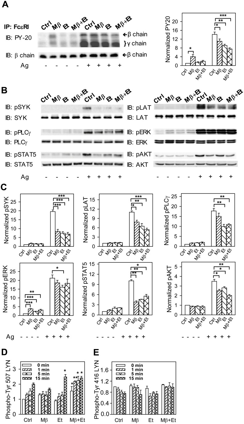 Pretreatment with ethanol inhibits tyrosine phosphorylation of FcεRI β and γ subunits and some other proteins involved in FcεRI signaling. (A) IgE-sensitized cells were preincubated for 15 min with BSS-BSA alone (Ctrl) or supplemented with ethanol (0.5%) and/or Mβ and then activated or not with antigen (100 ng/ml) in the presence or absence of the compounds. After 5 min the cells were solubilized in 0.2% Triton X-100 and FcεRI was immunoprecipitated (IP) from postnuclear supernatants. The immunoprecipitates were resolved by SDS-PAGE and analyzed by immunoblotting with PY-20-HRP conjugate. For loading controls, the same membrane was stripped and re-blotted with FcεRI-β-chain-specific antibody. Representative immunoblots from three to five independent experiments are shown on the left. The immunoblots were analyzed by densitometry and the fold increase in tyrosine FcεRI-β and -γ chain phosphorylation, normalized to non-activated cells and the amount of FcεRI-β chain, is also shown on the right. (B) IgE-sensitized cells were incubated and activated as above. Five min after triggering the cells were solubilized, size fractionated, and tyrosine phosphorylated proteins were detected by immunoblotting with the phosphoprotein-specific antibodies. Antibodies for the corresponding proteins were used for detection of loading controls. Representative immunoblots from three to four independent experiments are shown. (C) The immunoblots were analyzed by densitometry. Fold increases of protein tyrosine phosphorylation, normalized to control (Ctrl) non-activated cells and the corresponding protein loads are shown. (D and E) IgE-sensitized cells were incubated with the drugs as in A and then activated with antigen (100 ng/ml) in the presence of the drugs for the indicated time intervals. The cells were solubilized, size fractionated, and LYN phosphorylated on Tyr 507 (D) or Tyr 416 (E) was detected by immunoblotting with the corresponding antibodies. After stripping, the membranes were developed for LYN used as a loading control. Fold increase in protein tyrosine phosphorylation, normalized to non-activated cells (Ctrl) and protein load, is also shown. Means ± SEs and the statistical significance of differences in A, C, E, and D were calculated from three to five independent experiments.