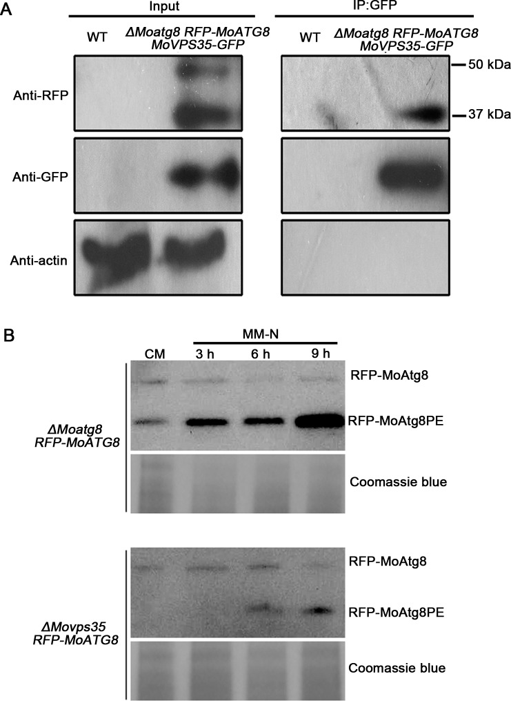 MoVps35 interacts with MoAtg8 and is involved in the retrieval of MoAtg8. (A) <t>GFP-trap</t> based pull down experiment indicating the interaction between MoVps35-GFP and RFP-MoAtg8 in the transformant. Total proteins isolated from the wild-type strain (WT) are included as a negative control. MoVps35-GFP shows specific interaction with the cleaved and lipidated MoAtg8 during MM-N induced starvation. Top, middle, and bottom images represent <t>immunoblot</t> detection with anti-RFP, anti-GFP, and anti-actin antibodies, respectively, as indicated. (B) Delayed post-translational processing of MoAtg8 in ΔMovps35 mutant. Immunoblot analysis of total lysates from CM and MM-N cultured (3 h to 9 h in starvation environment) ΔMoatg8 RFP-MoATG8 and ΔMovps35 RFP-MoATG8 transformants, with anti-RFP antibody. Coomassie blue staining of total lysates serves as a loading control.