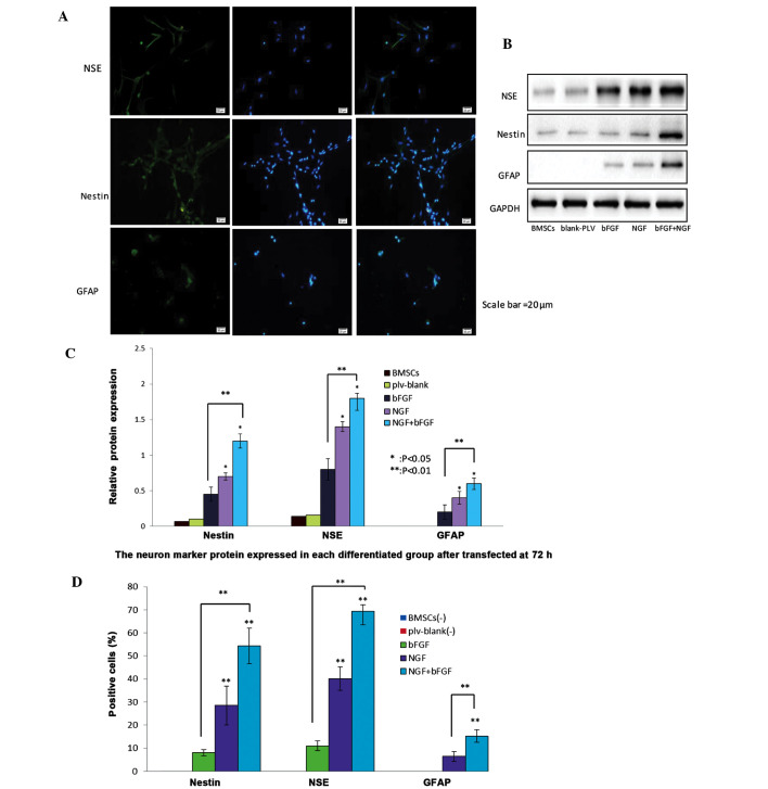 Protein expression levels of nestin, neuron-specific enolase (NSE) and glial fibrillary acidic protein (GFAP) neuron-markers in nerve growth factor (NGF)- and basic fibroblast factor (bFGF)-transfected bone marrow mesenchymal stem cells (BMSCs) 72 h post-transfection. (A) Differentiated cells were stained with nestin, NSE and GFAP antibodies and counterstained with DAPI (blue). Scale bar=20 µ m. The NGF and bFGF co-transfected BMSCs exhibited increased protein expression of nestin, NSE and GFAP, as demonstrated by a marked increase in green fluorescence after 72 h, detected by fluorescence microscopy. (B) Western blotting detected the protein expression levels of neuron markers in the transfected BMSCs after 72 h. The expression levels of the neuron markers were higher in the co-transfected BMSCs group, as compared with the other groups. The untransfected BMSCs and plv-blank-transfected cells exhibited a slight expression of neuron markers. (C) Western blot analysis of the protein expression levels of nestin, NSE and GFAP in the untransfected BMSCs group, plv-blank-transfected BMSCs group, bFGF-transfected BMSCs group, NGF-transfected BMSCs group, and NGF and bFGF co-transfected BMSCs group. Data show the protein levels normalized to GAPDH, and are presented as the mean ± standard deviation (SD) (n=5). * P