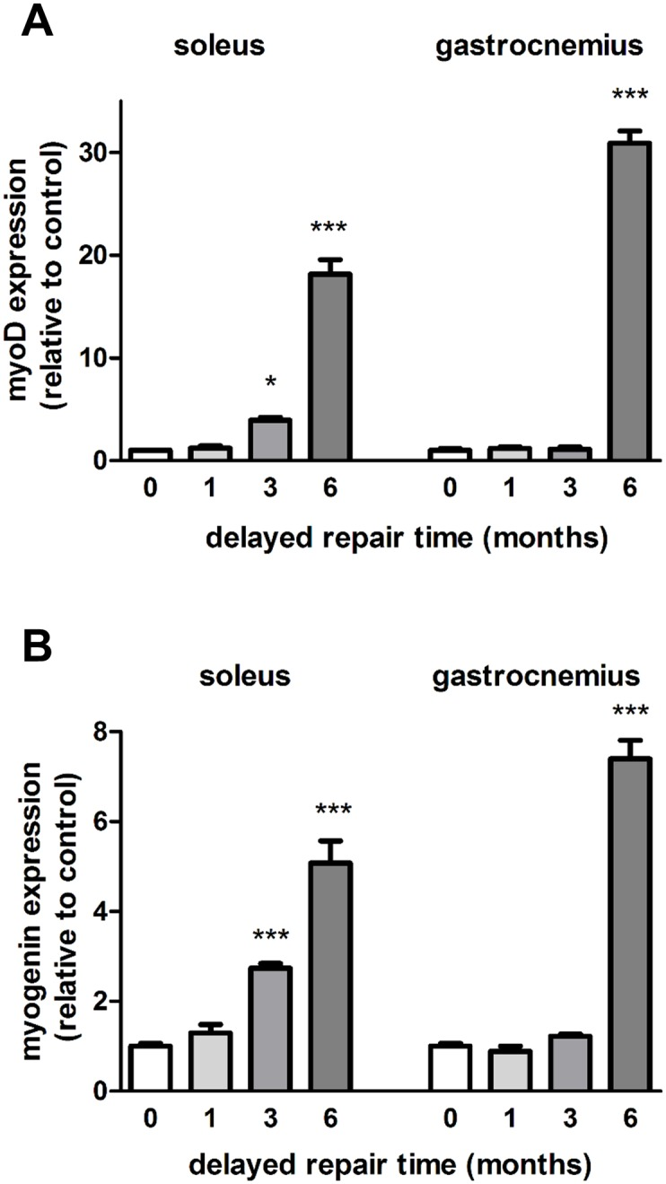 Expression of myogenic transcription factors in the delayed nerve repair model. The medial gastrocnemius muscles and the soleus muscles from ipsilateral operated sides were harvested and fast frozen in liquid nitrogen for subsequent qRT-PCR analysis of (A) MyoD and (B) myogenin after 0, 1, 3 and 6 month delayed repair with a donor nerve graft. Data are expressed relative to the immediate repairs. *P