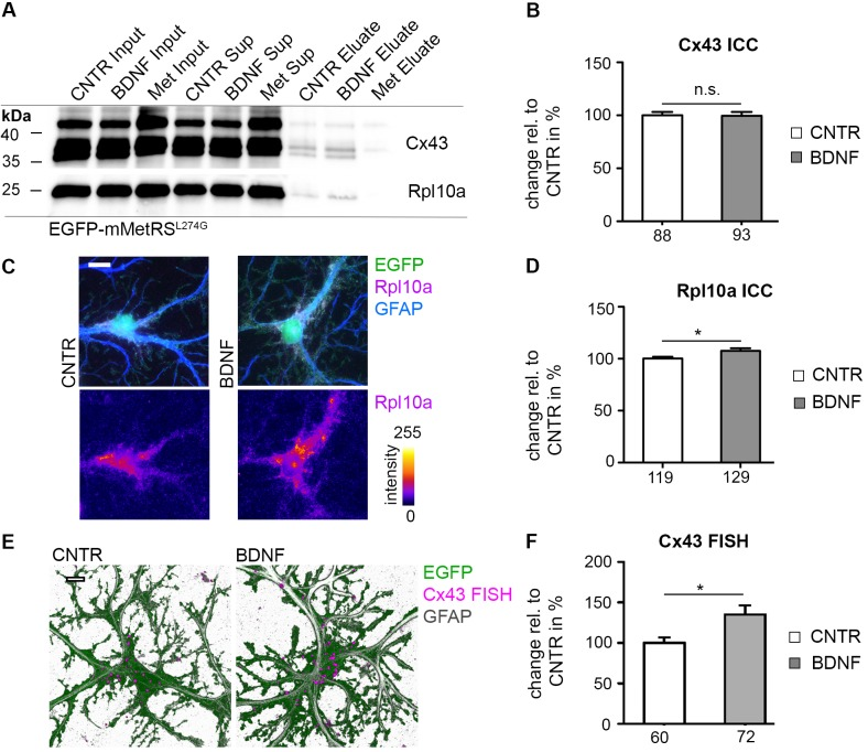 Upregulation of candidate proteins upon BDNF treatment in astrocytes. (A) Neuron-glia cocultures (DIV 22), infected with LVGFAPEGFP-mMetRS L274G , were incubated with 4 mM ANL or 4 mM Met (Met) for 4 h with (BDNF) or without 50 ng/ml BDNF (CNTR). Cell lysates were tagged with a biotin-alkyne tag via 'click-chemistry'. Biotin-tagged proteins were affinity purified with NeutrAvidin agarose. ANL incorporation and subsequent biotin tagging allows enrichment of de novo synthesized proteins compared to the Met incorporation control (Met Eluate). Overall protein levels of Cx43 and Rpl10a are comparable among the three different conditions in the lysates (Input) representing the joined pool of both pre-existing and de novo synthesized proteins as well as in the unbound fraction (Sup). In contrast, BDNF application resulted in increased levels of de novo synthesized and thus biotin-tagged Cx43 (43 kDa; both lower bands represent unphosphorylated and monophosphorylated Cx43) and Rpl10a (25 kDa) on immunoblots after purification (Eluate; 3 independent experiments). (B) Neuron-glia cocultures (DIV 22) were treated with 50 ng/ml BDNF for 4 h. A positive immunocytochemical GM130 staining for the Golgi apparatus (ICC) was used as a mask to quantify Cx43 signal intensity. No difference in Cx43 signal intensities was found. Numbers at the X-axis indicate the number of cells included in the quantification (3 independent experiments, represented data are mean +/- SEM, student's t-test, p > 0.05). (C) Neuron-glia cocultures (DIV 22) were infected with LVGFAPEGFP and treated with 50 ng/ml BDNF for 4 h. Elevated Rpl10a positive signals were observed in GFAP-positive astrocytes by applying immunocytochemistry for Rpl10a and GFAP. Rpl10a signal intensities are color coded in the lower panel (scale bar = 10 μm). (D) Quantification of Rpl10a signal intensities, obtained as in (C), was done within the EGFP mask. A significant increase in Rpl10a signal intensity was observed. Numbers at the X-