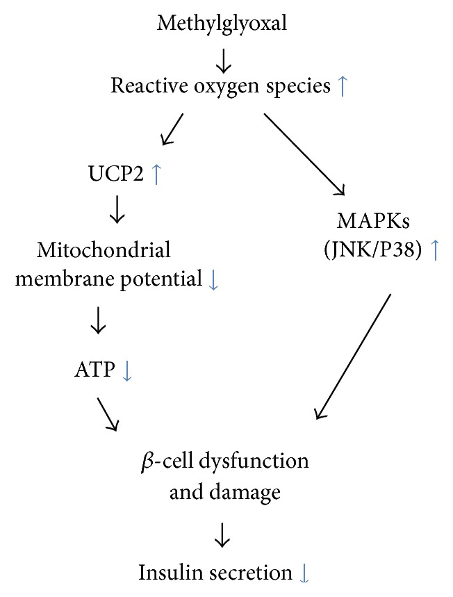 Schematic representation of proposed signaling pathways suggested by the results of this study. Methylglyoxal increases production of reactive oxygen species (ROS), which then reduces the mitochondrial membrane potential (MMP) and ATP production via UCP2 upregulation. UCP2 upregulation in turn leads to β -cell damage and, ultimately, impairment of insulin secretion. ROS also may induce β -cell damage and impair insulin secretion directly via upregulation of MAPKs <t>(JNK/P38).</t>