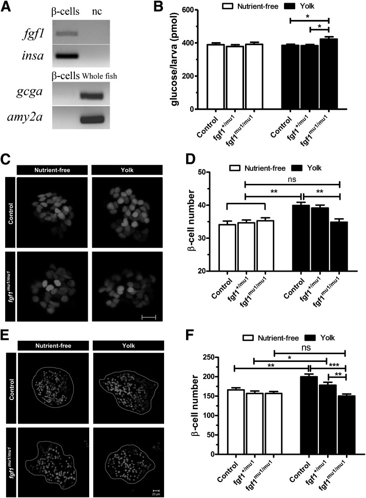 FGF1 is necessary for overnutrition-induced β-cell differentiation. A : RT-PCR analysis of fgf1 , insa , gcga , and amy2a expression in FACS-sorted β-cells. nc, no template control. B : Overnutrition-induced mild hyperglycemia in fgf1 mu1/mu1 fish. Wild-type and fgf1 mu1/mu1 larvae were cultured for 8 h in nutrient-free or 5% egg yolk solution at 6 dpf, and their total free glucose levels were determined immediately after. n = 10. Representative confocal projections of β-cells of 6-dpf ( C ) and 4-week-old ( E ) Tg(−1.2ins:H2B-mCherry) or fgf1 mu1/mu1 ;Tg(−1.2ins:H2B-mCherry) larvae cultured for 8 h in nutrient-free medium or 5% egg yolk. Scale bar indicates 10 µm in C and 20 μm in E . Quantification of β-cell number from 6-dpf larvae ( D ) or 4-week-old fish ( F ) suggested a loss of overnutrition-induced β-cell differentiation in fgf1 -deficient fish. n = 7–24 in D and n = 10 in F . * P