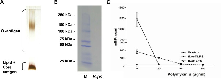 Successful extraction and purification of B . pseudomallei- LPS. LPS from B . pseudomallei 1026b was purified by a modified hot phenol-water extraction method including proteinase K treatment. 10 μl of LPS (0.5 mg/ml) was fractionated by SDS-PAGE electrophoresis followed by silver staining (A) which showed the characteristic ladder pattern of LPS banding of Gram-negative bacteria, without any indications of protein contamination (detection limit of 0.5–5 ng) and Coomassie blue staining (B) which demonstrated no protein contamination as well (detection limit 50 ng). Contamination of the extracted LPS was also assessed by the addition of LPS-binding Polymyxin B (PMB) (C). For this purpose, the murine alveolar macrophage cell line MH-S was stimulated with RPMI 1640 medium [ 56 ], LPS of E . coli 0111:B4 or B . pseudomallei 1026b and incubated with increasing concentrations of PMB for 6h, followed by TNF-α measurement in the supernatant. Results are representative for three independent experiments. (M = ladder, B.ps = B . pseudomallei -LPS)