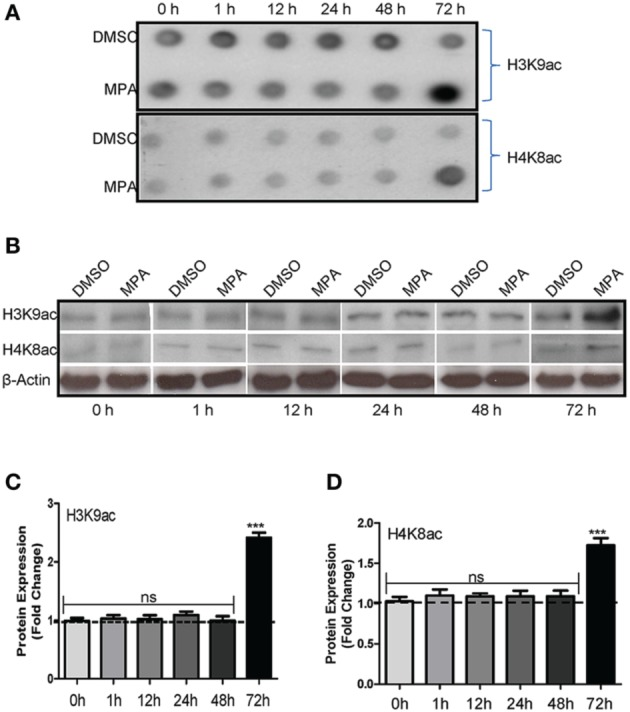 MPA treatment increases global histone acetylation in Caco-2 cells . (A) Dot-blot analysis; Caco-2 cells were cultured in six-well plates and post confluence monolayers were treated either with 10 μM MPA or DMSO for indicated time points. Total proteins were extracted and a volume of 2 μl from each time point was spotted on nitrocellulose membrane, dried and then probed with anti-H3K9ac and anti-H4K8ac antibodies. (B) Western blot analysis; Total cell proteins were resolved on 12.5% SDS-PAGE gels and, immunoblotted using anti-H3K9ac and anti-H4K8ac specific antibodies. β-actin was used as a loading control. (C,D) Bar graphs representing the densitometric analysis of three independent experiments from Western blot (B) using the Lab image software. Differences between two groups were analyzed by the two-tailed Student's t -test and of more than two groups by One-way ANOVA with Bonferroni posttest ( n = 3) and the values were expressed as means ± SEM. Asterisk indicates the significance ( *** P