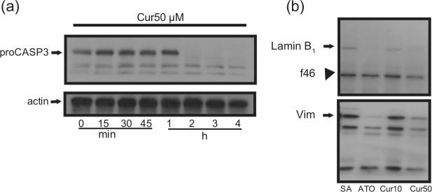 Curcumin induces the processing of caspase-3 and the cleavage of cytoskeletal proteins. PMNs (10 × 10 6 cells/mL) were incubated for the indicated periods of time with 10 or 50 µM curcumin (Cur10 and Cur50, respectively), and (a) the processing of procaspase-3 (proCASP3) or (b) the cleavage of <t>lamin</t> B1 or vimentin (Vim) were assessed by Western blot as described in the 'Materials and methods' section. Results are from one representative experiment out of at least three. Arrowhead indicated the 47-kDa fragment of lamin B 1 observed in HL-60, PLB-985 and human PMNs. 22 SA: spontaneous apoptosis; PMNs: polymorphonuclear neutrophil cells; ATO: arsenic trioxide; GM-CSF: granulocyte-macrophage colony-stimulating factor.
