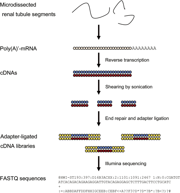 The workflow of the RNA-seq profiling of the nephron transcriptome. Poly(A)′-mRNAs released from microdissected renal tubule segments are prepared into adapter-ligated cDNA libraries through reverse transcription and amplification. Illumina sequencing generates 50-bp paired-end FASTQ sequences. cDNAs, complementary DNAs; poly(A)′-mRNA, polyadenylated messenger RNA; RNA-seq, RNA sequencing.