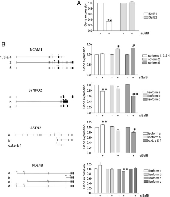 SAFB1 knockdown mediates changes in the expression of specific RNA isoforms. RT-PCR analysis of genes with crosslinks identified by iCLIP was performed in such a way as to examine the possibility of transcript-specific alterations. a RNA was isolated from SHSY5Y cells following siRNA mediated SAFB1 knockdown and SAFB1 and SAFB2 RNA levels measured. b Specific primer sets were designed and used to measure the expression of NCAM1, SYNPO2, ASTN2 and PDE4B isoforms. The results were obtained following three independent experiments. Statistical analysis was by ANOVA followed by post-hoc t -tests. * P
