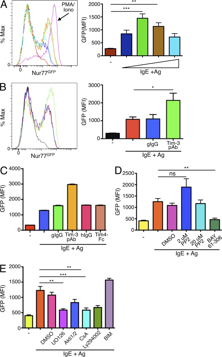 Nur77-GFP reporter expression is induced by IgE/Ag and enhanced by coengagement of Tim-3. BMMCs were generated from Nur77 GFP reporter mice, sensitized with IgE overnight, and stimulated with Ag. In A, Ag (DNP 32 -HSA) was titrated over a range of 10–500 ng/ml. PMA plus ionomycin stimulation was used as a positive control. GFP expression was determined after stimulation for 6 h. (B) Nur77 GFP BMMCs were stimulated with a fixed concentration of Ag, with or without Tim-3 pAb for 6 h. (C) Nur77 GFP BMMCs were stimulated with IgE/Ag and either Tim-3 pAb or Tim4-Fc (which binds to Tim-1), or appropriate isotype controls. (D) Nur77 GFP BMMCs were stimulated with IgE/Ag plus either inhibitor to Src kinases (PP2) or Syk (BAY). (E) Nur77 GFP BMMCs were stimulated with IgE/Ag and the indicated inhibitors to MEK (UO126), Akt (Akt i 1/2), calcineurin (CsA), PI3K (LY294002), or PKC (BIM). GFP signal was quantified by flow cytometry. Results are the average of three independent experiments performed in duplicate. *, P