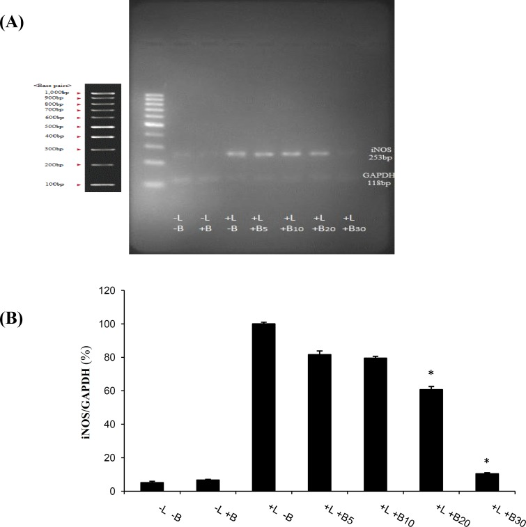Effects of bromelain on the levels of iNOS production by LPS-stimulated primary microglial cells. Primary microglial cells were pretreated with bromelain at 5-30 µg/ml for one hour before LPS (1 µg/ml) addition. (A) After incubation for 48 hours, the expression of iNOS mRNA levels was measured by semi-quantitative RT-PCR analysis. The results showed that the LPS-stimulated increase of iNOS levels in the primary microglial cells was reduced to the control levels in the presence of 30 µg/ml bromelain. LPS and bromelain treatments are shown with L and B, respectively in the Figure. (B) Densitometry analysis of the bands was performed by Totallab software. * P